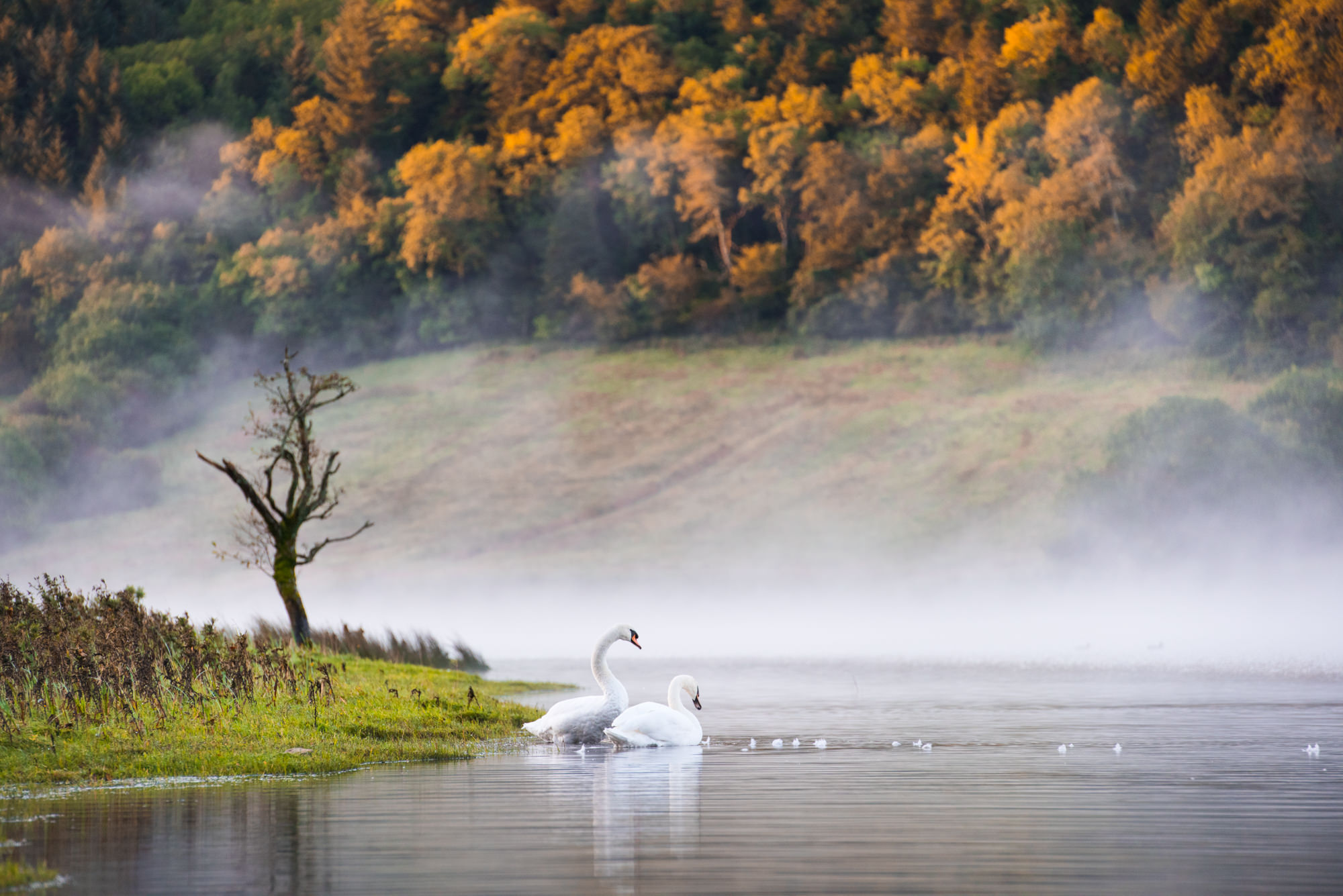 Swans in a misty lake at sunrise