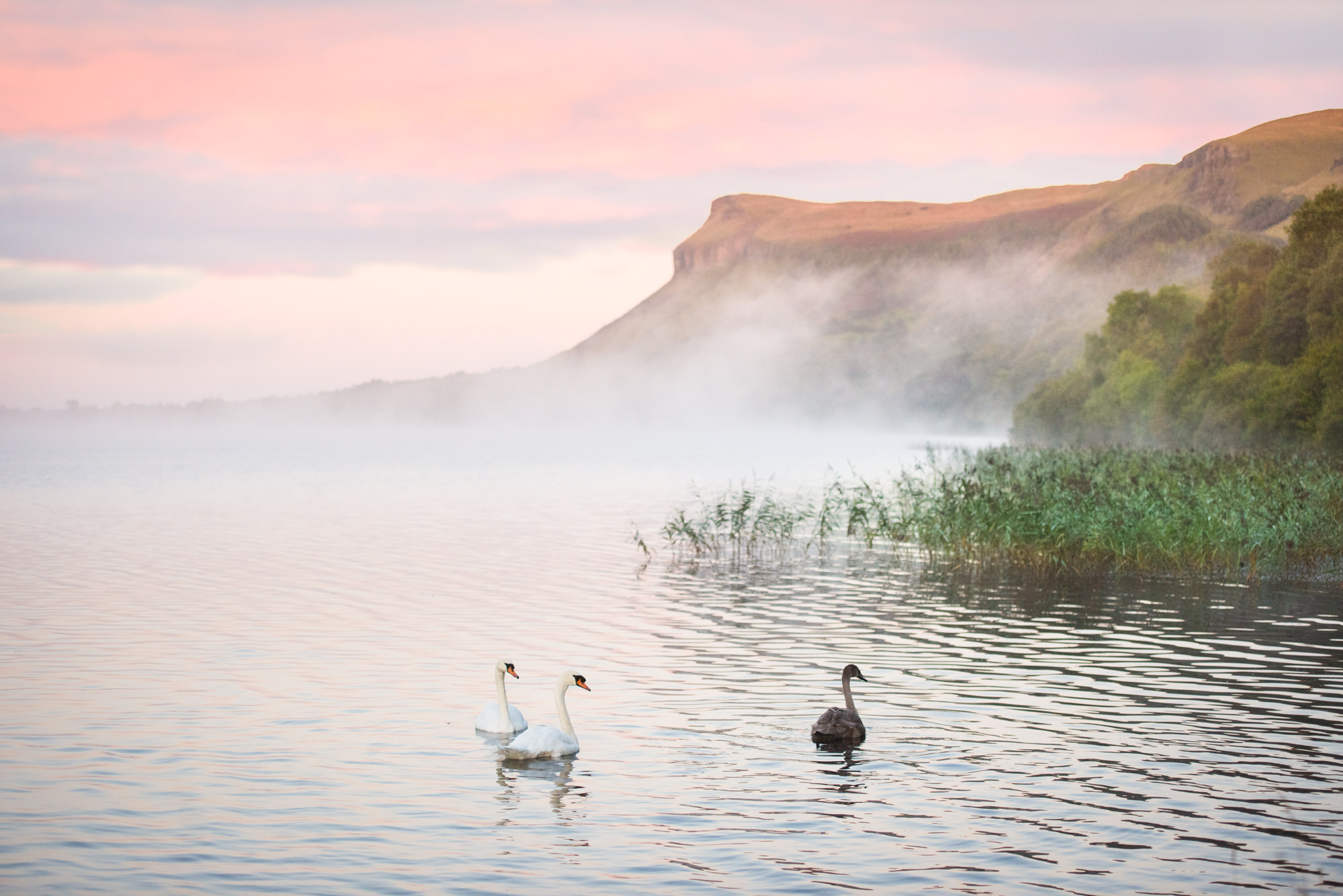 Swans on Glencar Lake at sunrise